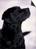 Black Labrador Retriever Looking Up Posters by Adriano Bacchella