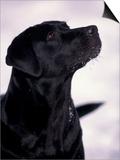 Black Labrador Retriever Looking Up Posters by Adriano Bacchella