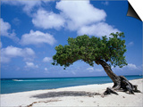 Divi-Divi Tree, Aruba Print by Jennifer Broadus