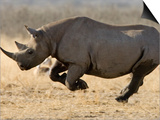 Black Rhinoceros, Running, Namibia Posters by Tony Heald