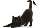 Fluffy Black Kitten, 9 Weeks, Stretching Print by Mark Taylor