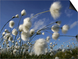 Cotton Grass, Blowing in Wind Against Blue Sky, Norway Posters by Pete Cairns