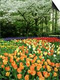 Tulipa (Tulips) Planted En Masse Below Prunus (Cherry) Tree in Blossom, Holland Prints by Mark Bolton