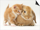 Domestic Kitten (Felis Catus) Next to Bunny, Domestic Rabbit Prints by Jane Burton