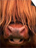 Highland Cattle, Head Close-Up, Scotland Posters by Niall Benvie