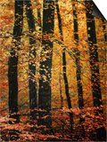Wind in the Trees Prints by Philippe Sainte-Laudy