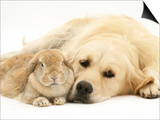 Sandy Lop Rabbit Resting with Golden Retriever Bitch Poster by Jane Burton