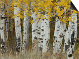 Aspen Trees in Autumn, Grand Teton National Park, Wyoming, USA Art by Rolf Nussbaumer