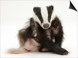 Young Badger (Meles Meles) Scratching Himself Prints by Mark Taylor