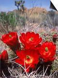 Joshua Tree, Ca, Cactus Flower Plakater af Mark Gibson