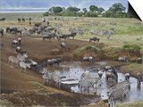 Zebras and Wildebeest at a Waterhole, Tanzania Posters
