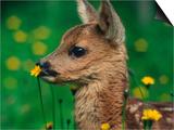 Roe Deer Fawn (Capreolus Capreolus) Europe Poster by  Reinhard