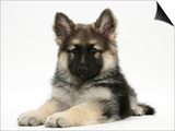 German Shepherd Dog (Alsatian) Bitch Puppy, Echo, Lying with Head Raised Prints by Mark Taylor