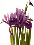 Spring Flowers: Iris Prints by Abdul Kadir Audah