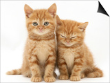 Two Ginger Domestic Kittens (Felis Catus) Prints by Jane Burton