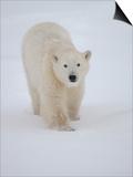 Polar Bear in Churchill Manitoba Arte di Keith Levit