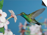 Broad Billed Hummingbird, Male Feeding on Nicotiana Flower, Arizona, USA Posters by Rolf Nussbaumer