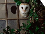 Barn Owl, Peering out of Broken Window, UK Art by Jane Burton