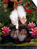Domestic Cat, Two Turkish Van Kittens Watch and Try to Catch Goldfish in Garden Pond Poster by Jane Burton