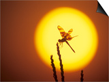 Haloween Pennant Dragonfly, Silhouette at Sunrise, Welder Wildlife Refuge, Sinton, Texas, USA Posters by Rolf Nussbaumer