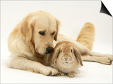 Golden Retriever Smelling Sandy Lop Rabbit Poster by Jane Burton
