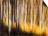 Birches Prints by Ursula Abresch