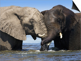 Two African Elephants Playing in River Chobe, Chobe National Park, Botswana Prints by Tony Heald