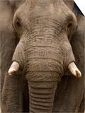 Close-Up of an African Elephant Trunk, Lake Manyara, Tanzania Posters