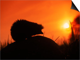Hedgehog (Erinaceus Europaeus) Silhouette at Sunset, Poland, Europe Posters by Artur Tabor