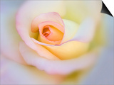 Rose Prints by Diane Miller