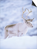 Reindeer Stag in Winter Snow (Rangifer Tarandus) from Domesticated Herd, Scotland, UK Prints by Niall Benvie