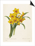 Narcissus Prints by Pierre-Joseph Redouté