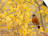 American Robin, Male in Aspen Tree, Grand Teton National Park, Wyoming, USA Print by Rolf Nussbaumer