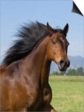 Bay Thoroughbred, Gelding, Longmont, Colorado, USA Posters by Carol Walker
