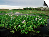Water Hyacinth Covering Lake, Texas, USA Posters by Rolf Nussbaumer