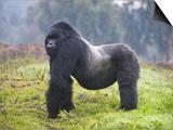 Mountain Gorilla (Gorilla Beringei Beringei) Silverback, Rwanda Posters