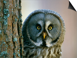 Portrait of Great Grey Owl (Strix Nebulosa) Behind Scots Pine Tree, Scotland, UK Posters by Pete Cairns