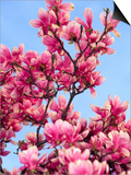 Magnolia Blossoms, Central Park, NY Prints by Rudi Von Briel