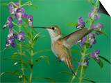 Rufous Hummingbird, Female Feeding on Purple Angelonia Paradise, Chiricahua Mountains, Arizona, USA Posters by Rolf Nussbaumer