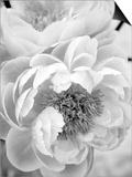 Delicate Blossom III Poster by Nicole Katano