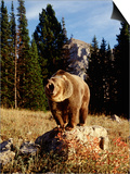 Grizzly Bear on Rock in Grassy Field, MT Prints by Guy Crittenden