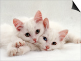 Domestic Cat, Two White Persian-Cross Kittens, One Odd-Eyed Poster by Jane Burton
