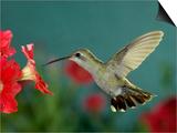 Broad Billed Hummingbird, Female Feeding on Petunia Flower, Arizona, USA Prints by Rolf Nussbaumer