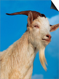 Domestic Goat Head Portrait, Europe Poster by  Reinhard