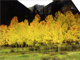 Brilliant Golden Aspen Trees in Rocky Mountains Near Silverton, Southwestern Colorado, USA Prints by Margaret L. Jackson