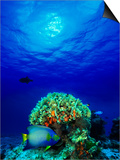 Queen Angelfish and Blue Chromis with Black Durgon in the Sea Prints
