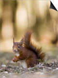 Red Squirrel, Sat on Ground in Leaf Litter, Lancashire, UK Poster di Elliot Neep