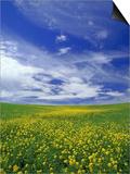 Field of Wild Mustard Flowers Poster by Adam Jones