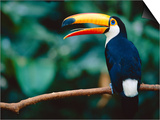 Toco Toucan in Tree, Igazu National Park, Brazil, Iguassu Art by Staffan Widstrand