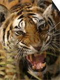 Bengal Tiger, Snarling, Madhya Pradesh, India Sztuka autor Elliot Neep